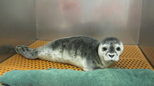 A three-day-old harbor seal rescued on Atlantic Beach, Long Island.